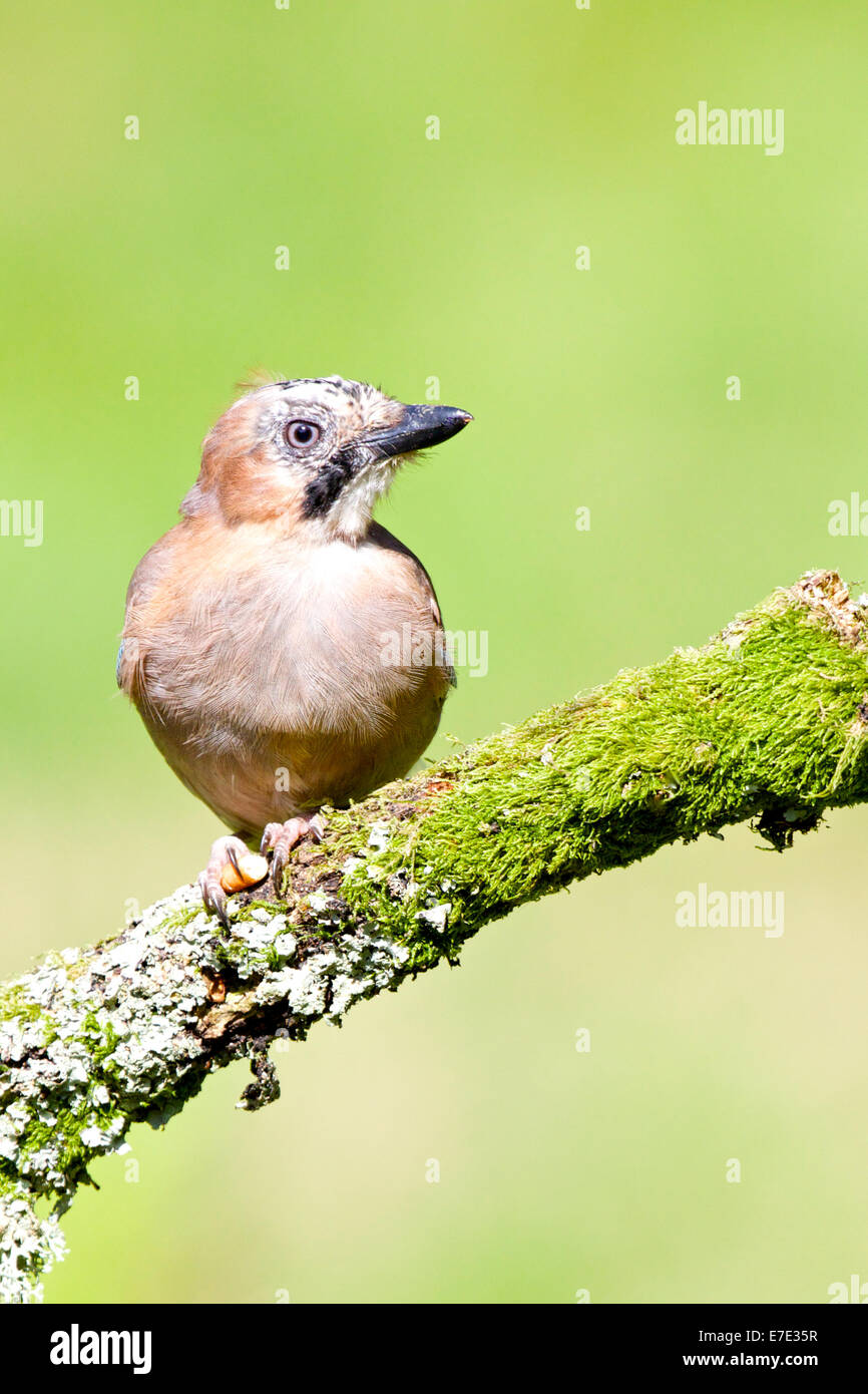 Jay perched on the moss / lichen covered twig #3084 - Stock Image