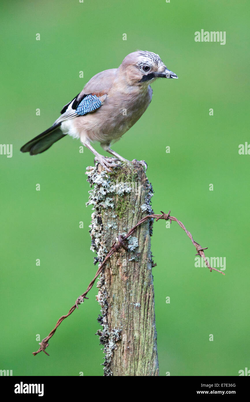 Jay poses for the camera while perched on the old fence post #3375 - Stock Image