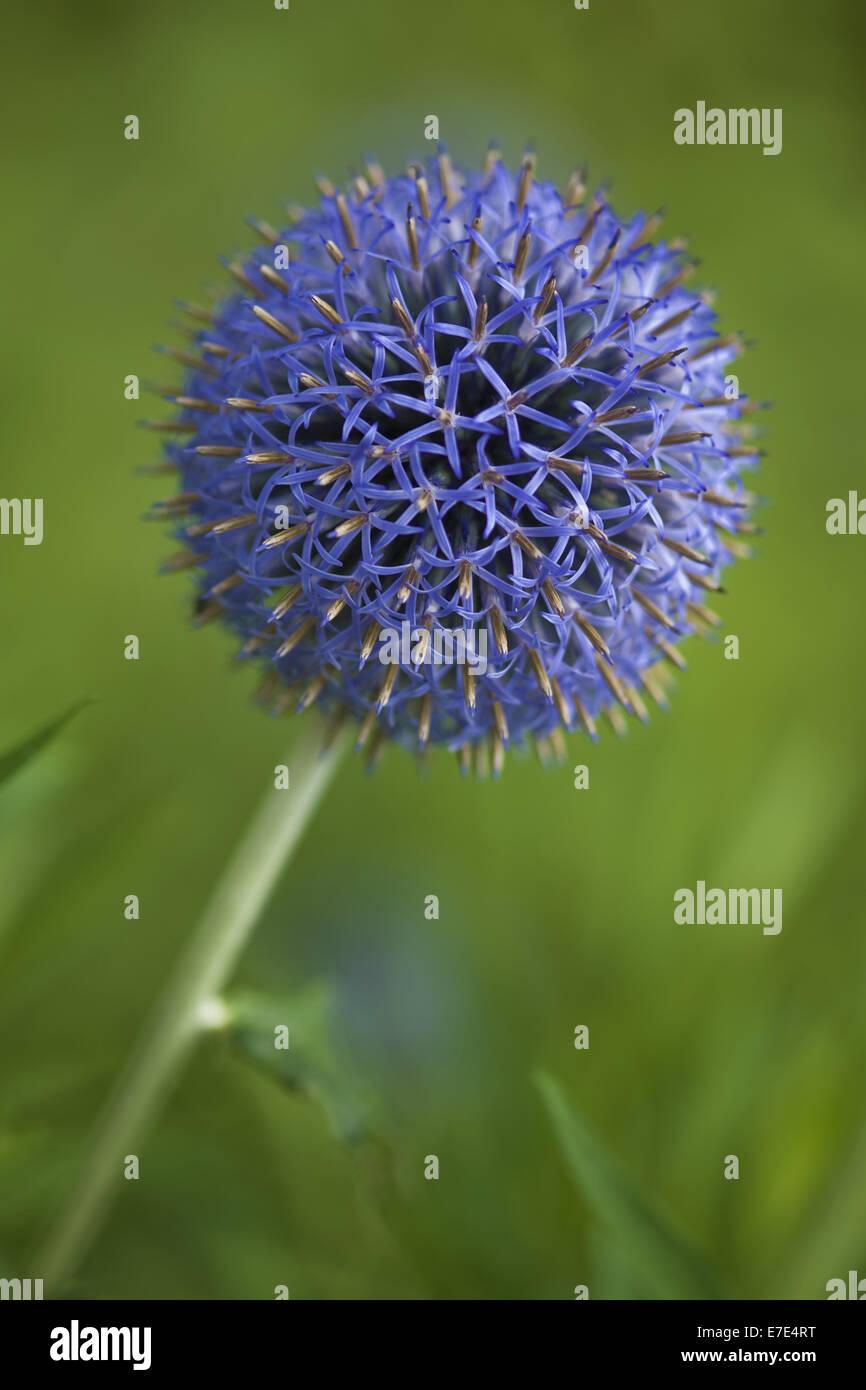 globe thistle, echinops spec. - Stock Image