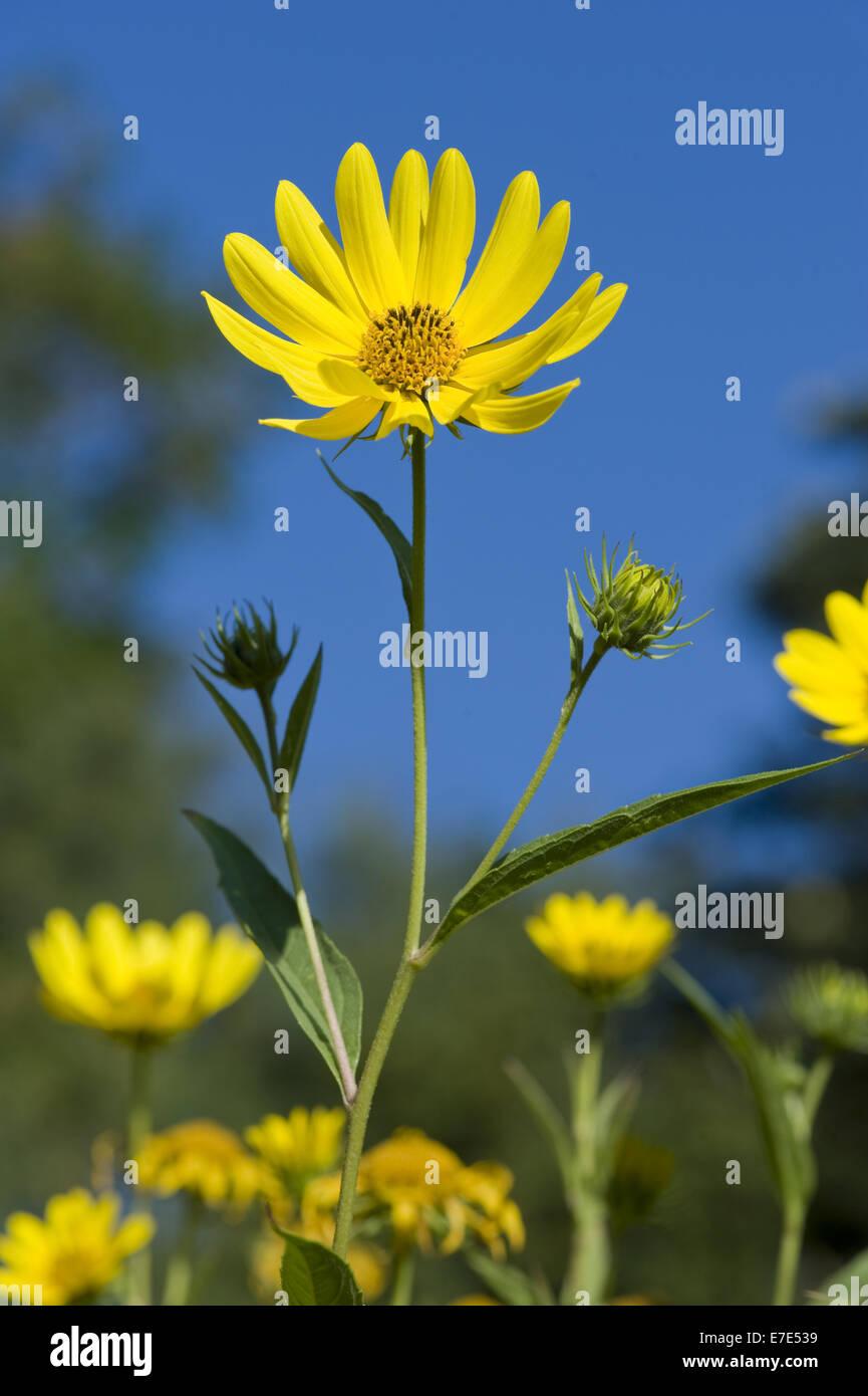 californian sunflower, helianthus californicus - Stock Image