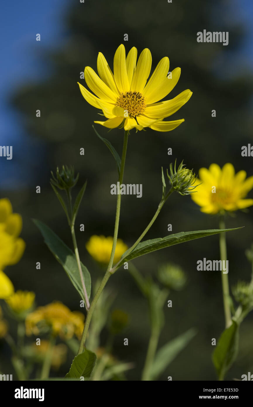 californian sunflower, helianthus californicus - Stock Image