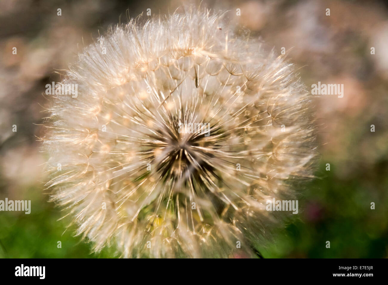 Dandelion blowball. Photographed in Armenia - Stock Image