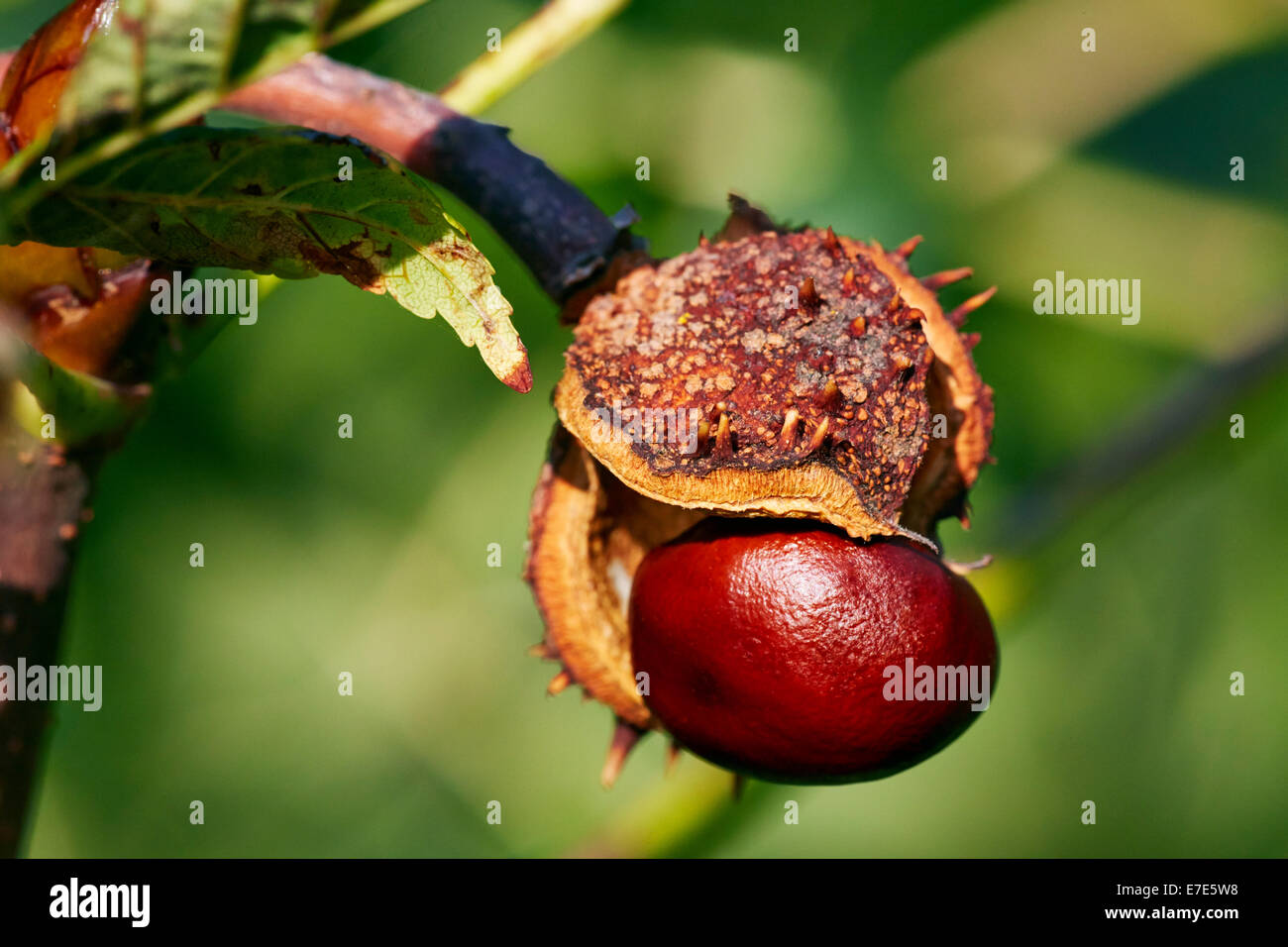 Horse Chestnut about to fall from its shell. Hurst Meadows, West Molesey, Surrey, England. - Stock Image