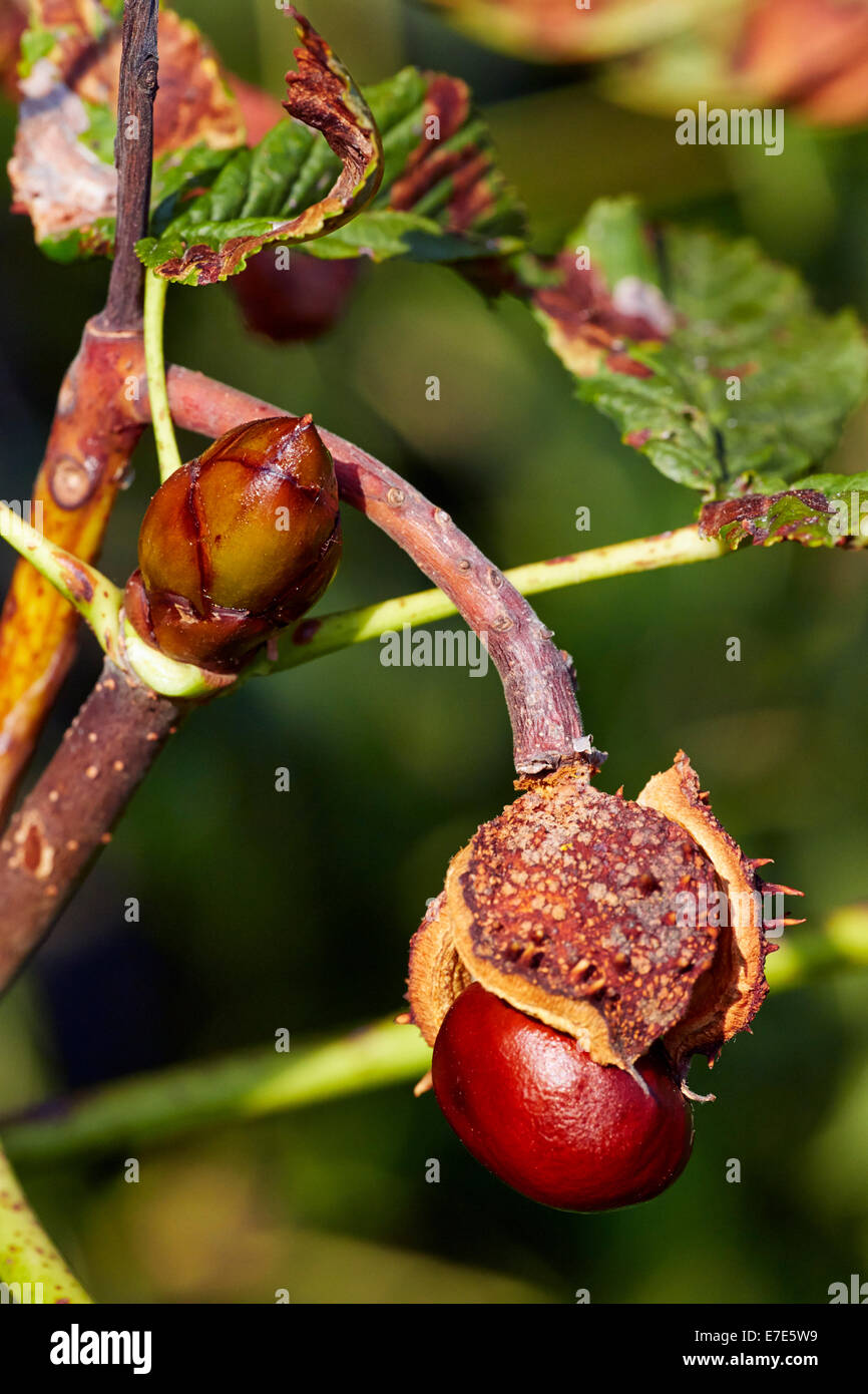 Horse Chestnut about to fall from its shell, and sticky bud. Hurst Meadows, West Molesey, Surrey, England. - Stock Image