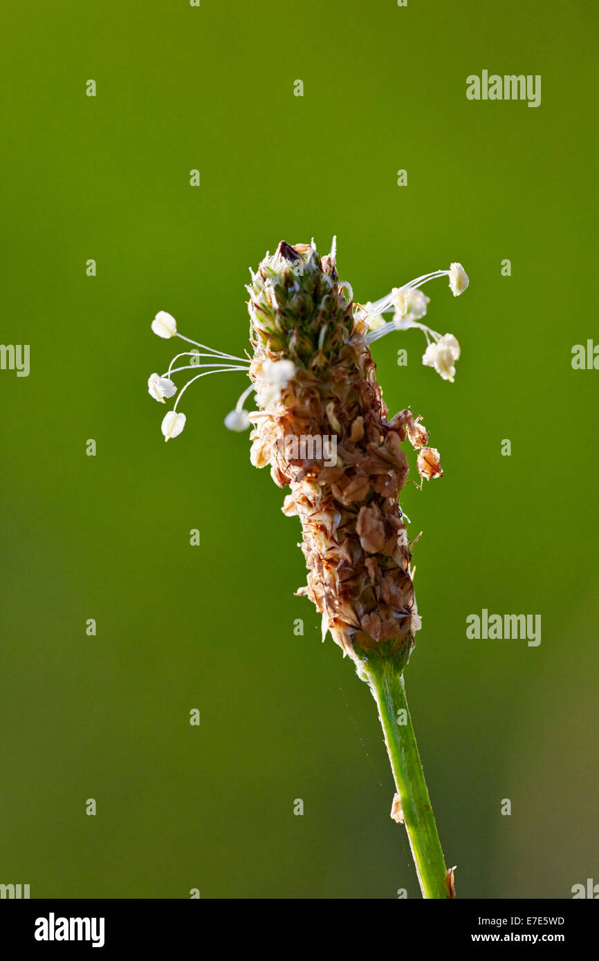 Flower of Narrow-leaved Plantain. Hurst Meadows, West Molesey, Surrey, England. - Stock Image