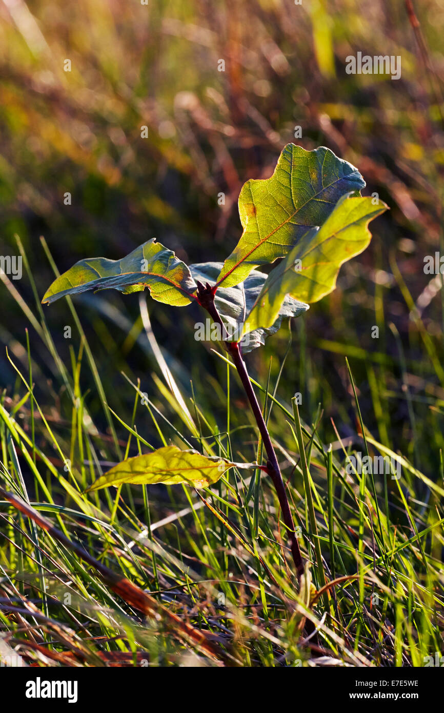 Oak sapling growing in the grassland of Hurst Meadows, West Molesey, Surrey, England. - Stock Image