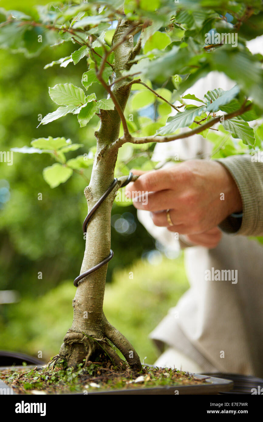 Strange Wiring Bonsai Tree Stock Photo 73457603 Alamy Wiring 101 Mecadwellnesstrialsorg