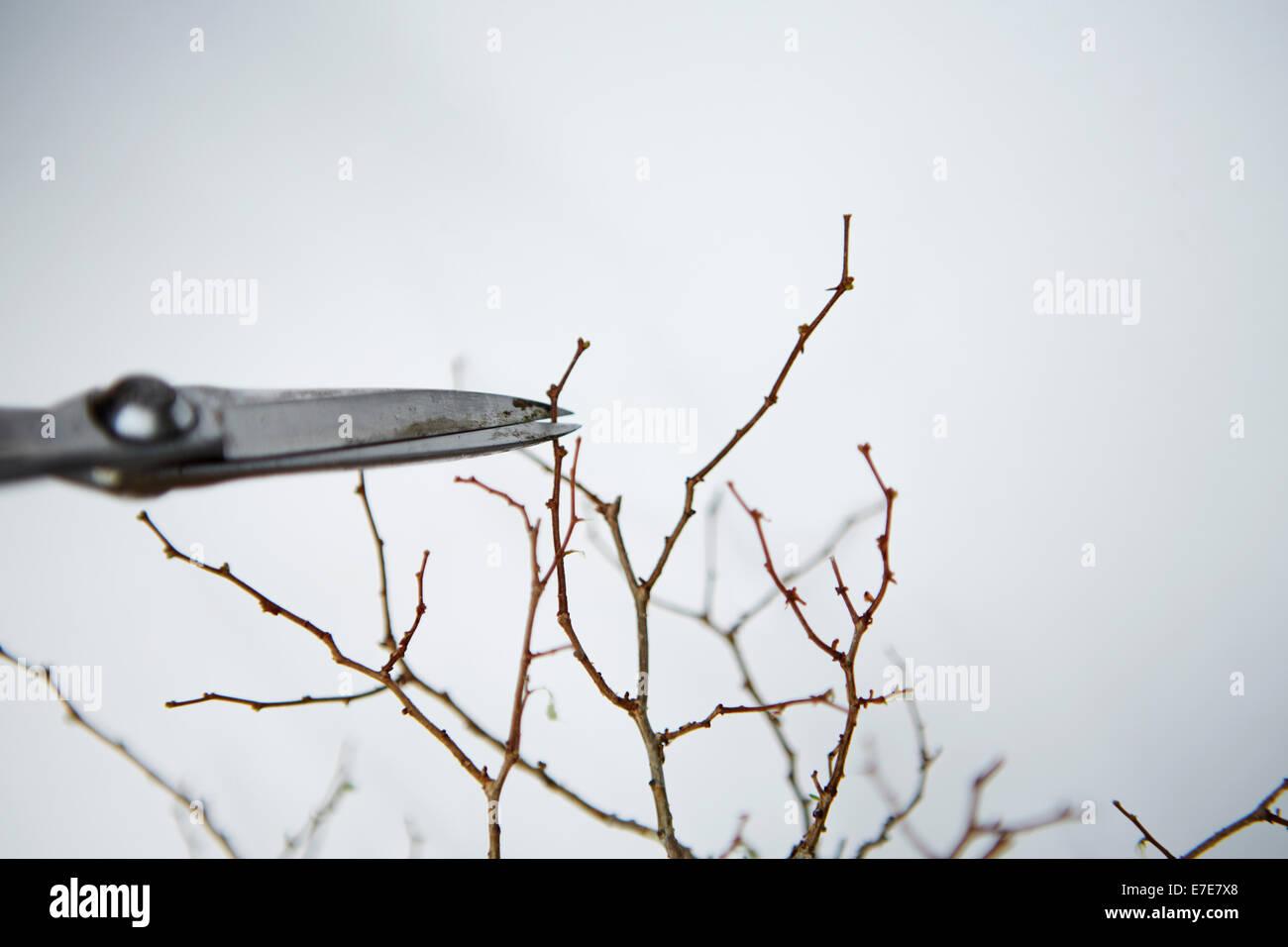 Cutting branch tips of bonsai Zelkova - Stock Image