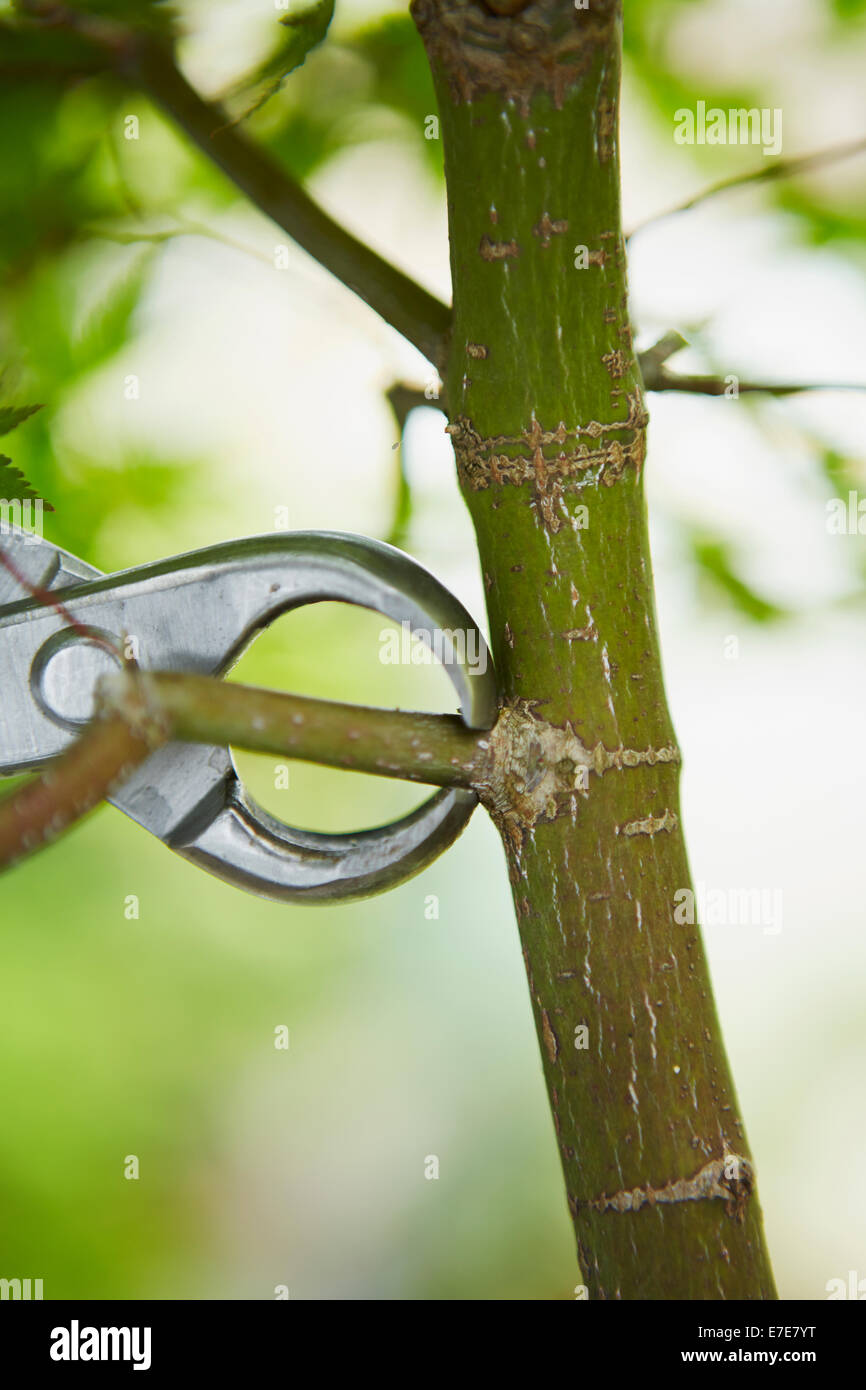 Removing branch from bonsai tree (maple) - Stock Image