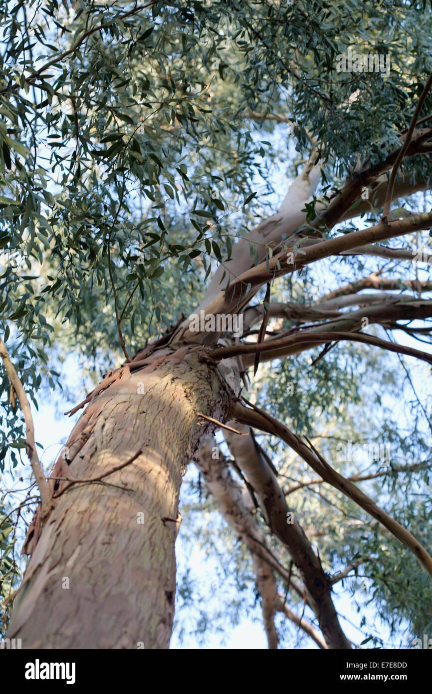 Eucalyptus archeri - Stock Image