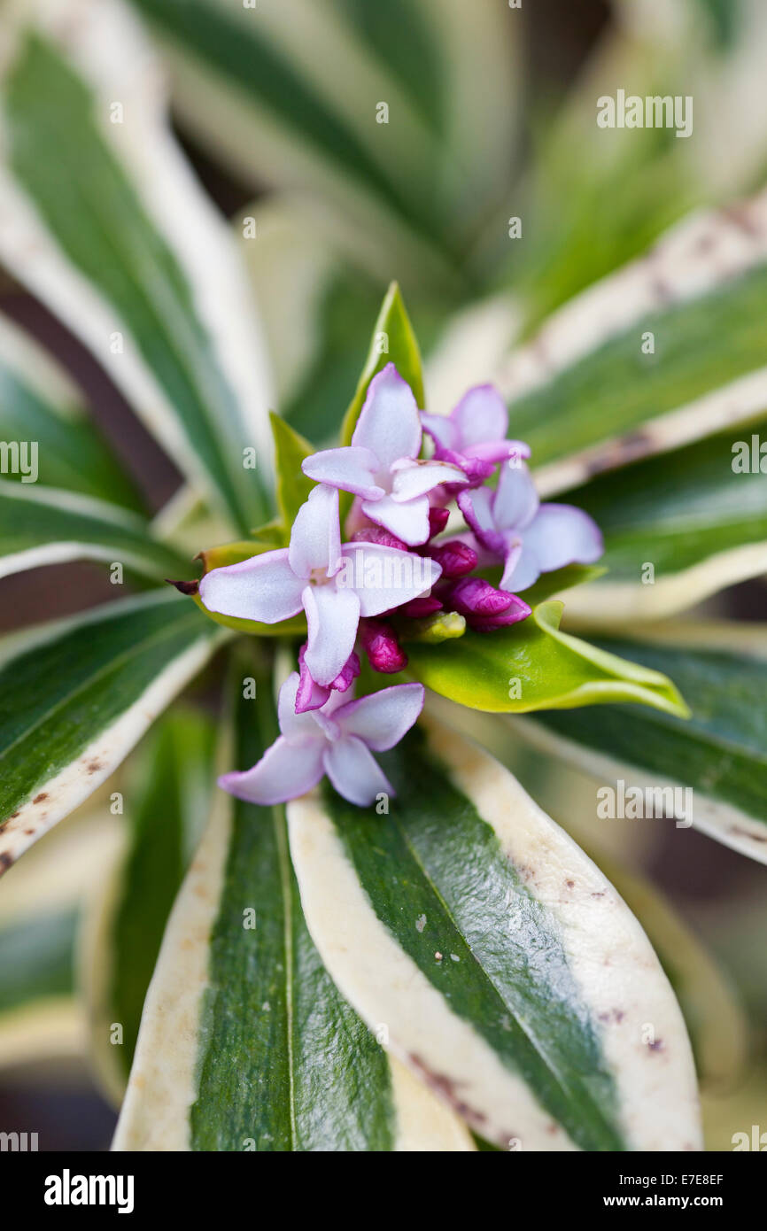 Daphne odora 'Mae-jima' - Stock Image