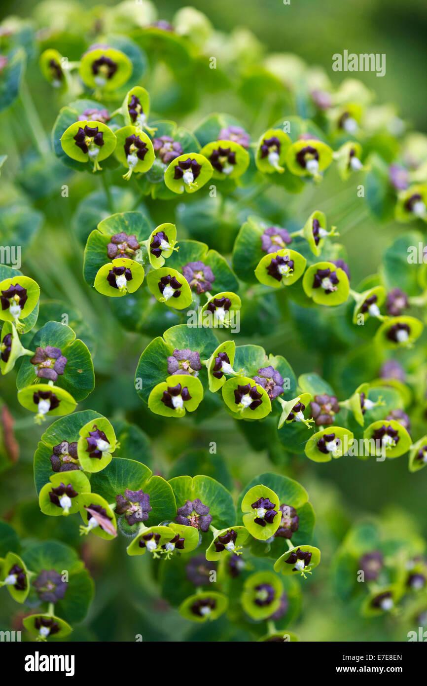 Euphorbia characias 'Black Pearl' - Stock Image