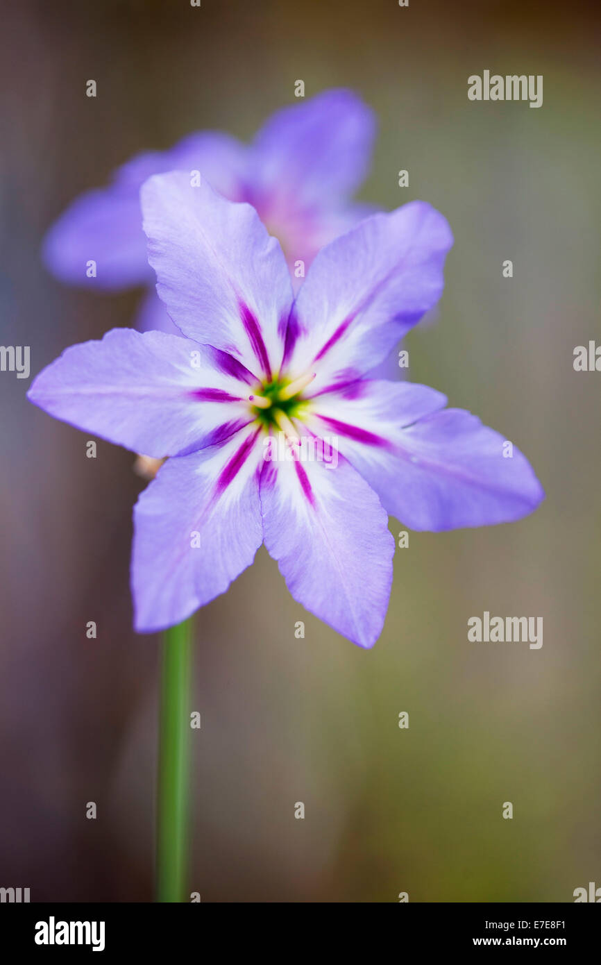Leucocoryne purpurea Stock Photo