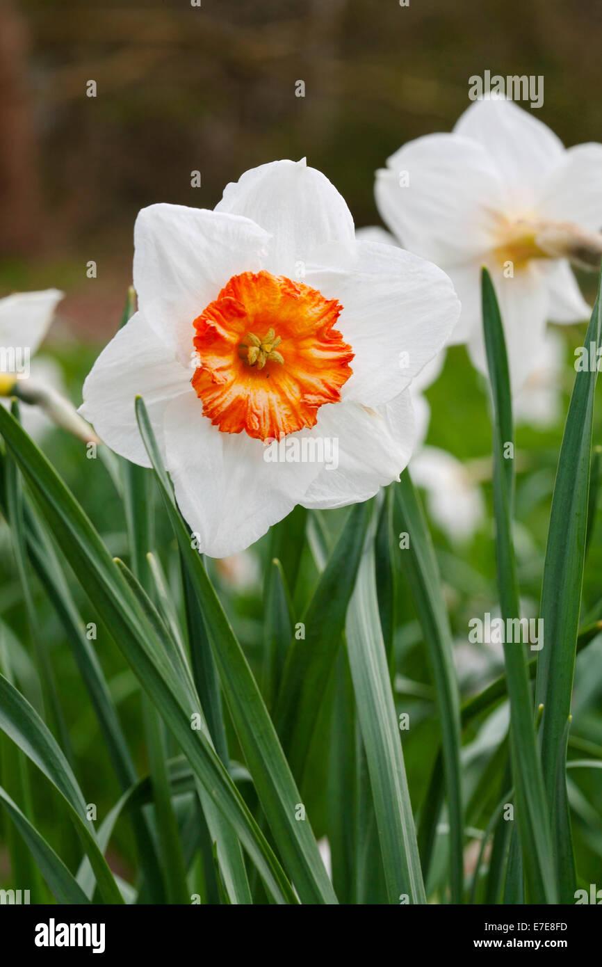 Narcissus 'Professor Einstein' - Stock Image