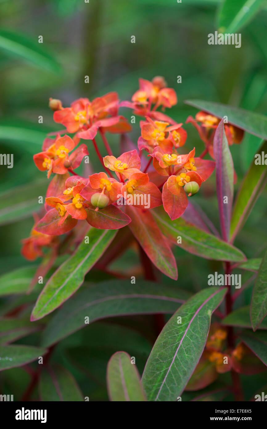 Euphorbia griffithii 'Fireglow' - Stock Image