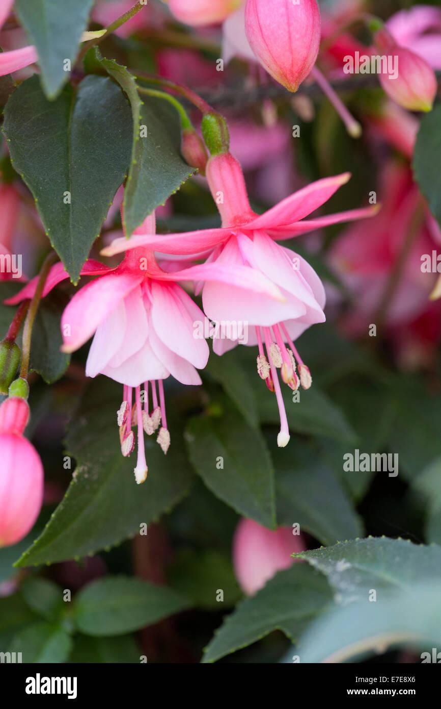 Fuchsia 'Alan Titchmarsh' - Stock Image