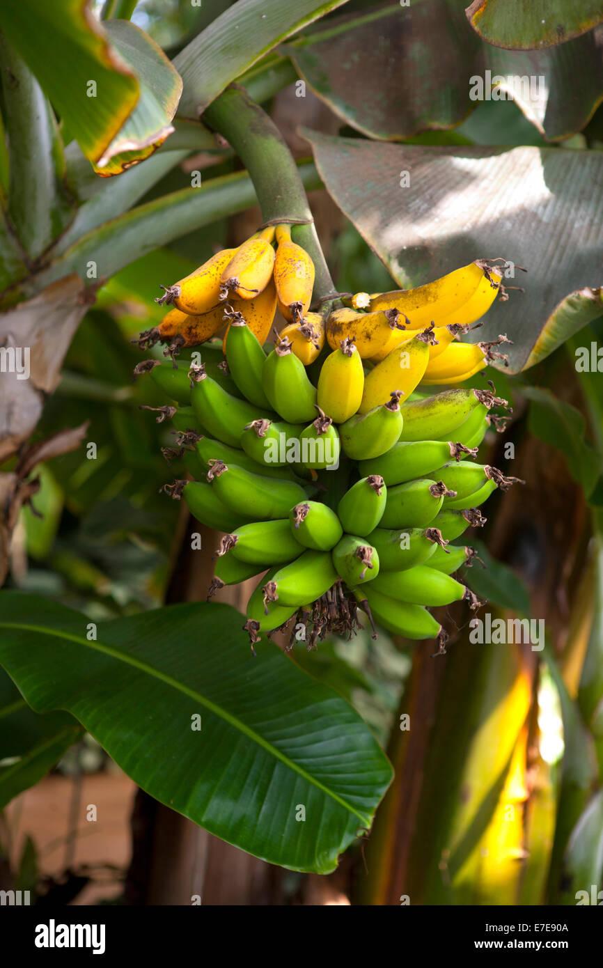 Musa acuminata 'Dwarf Cavendish' - Stock Image