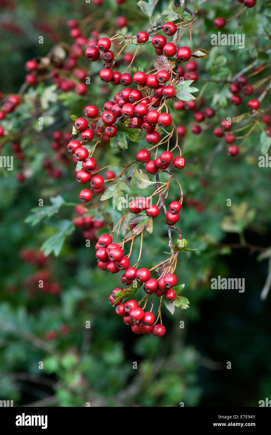 Hawthorn, quickthorn or May tree, Crataegus monogyna with plentiful ripe red berries in late summer Stock Photo