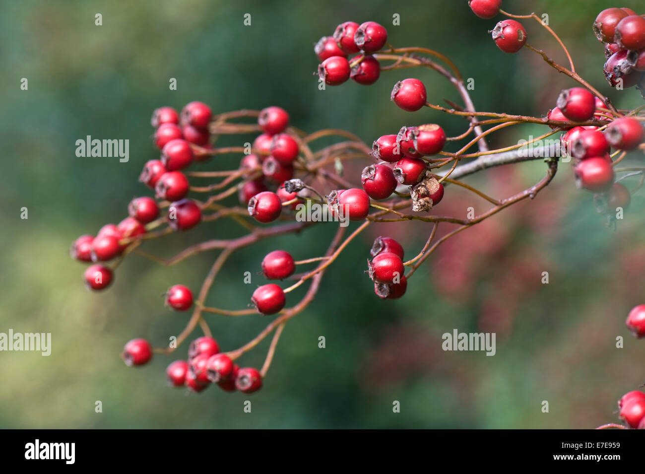 Hawthorn, quickthorn or May tree, Crataegus monogyna with plentiful ripe red berries in late summer - Stock Image