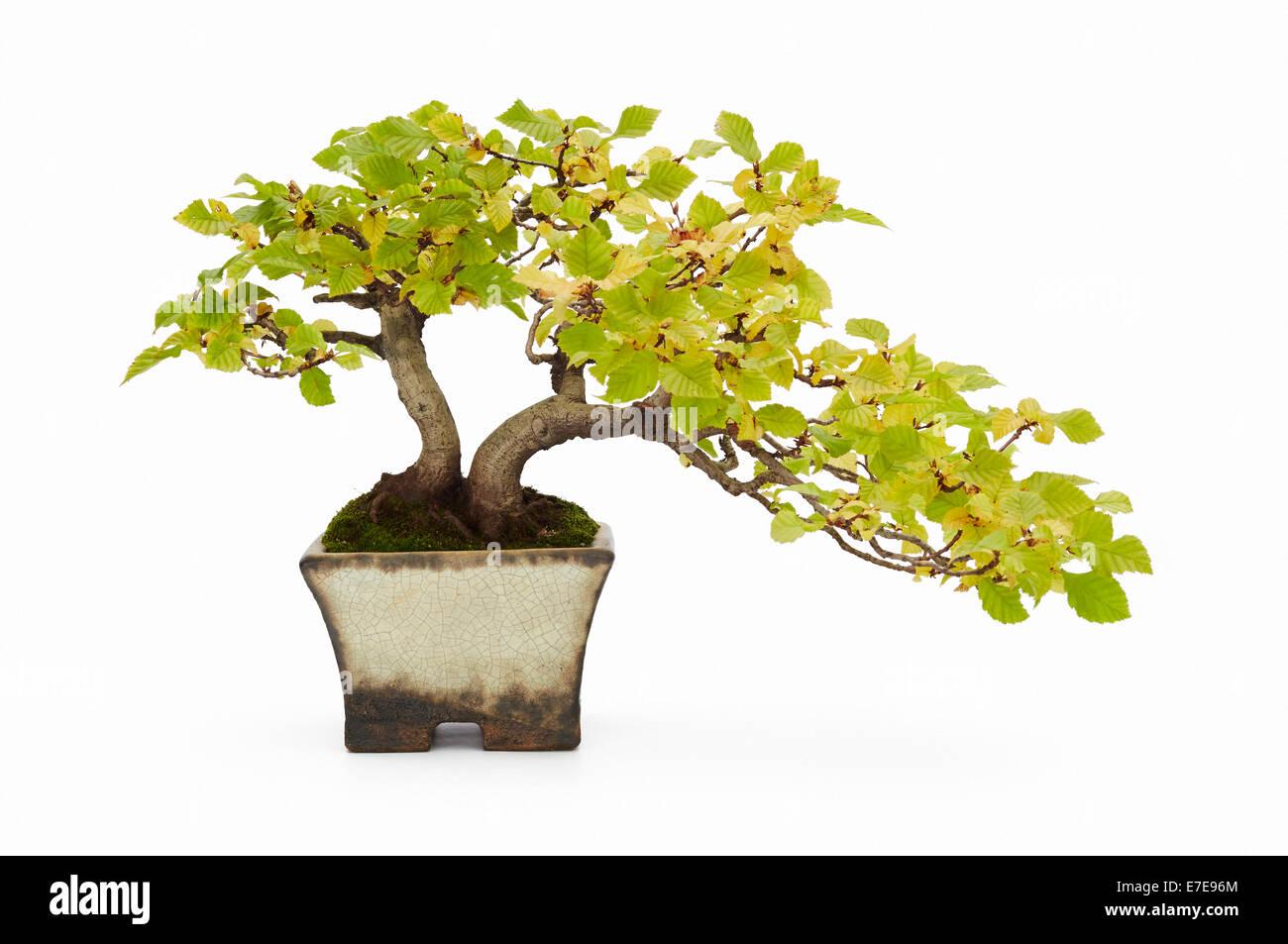 Bonsai Carpinus betulus (European Hornbeam) - Stock Image