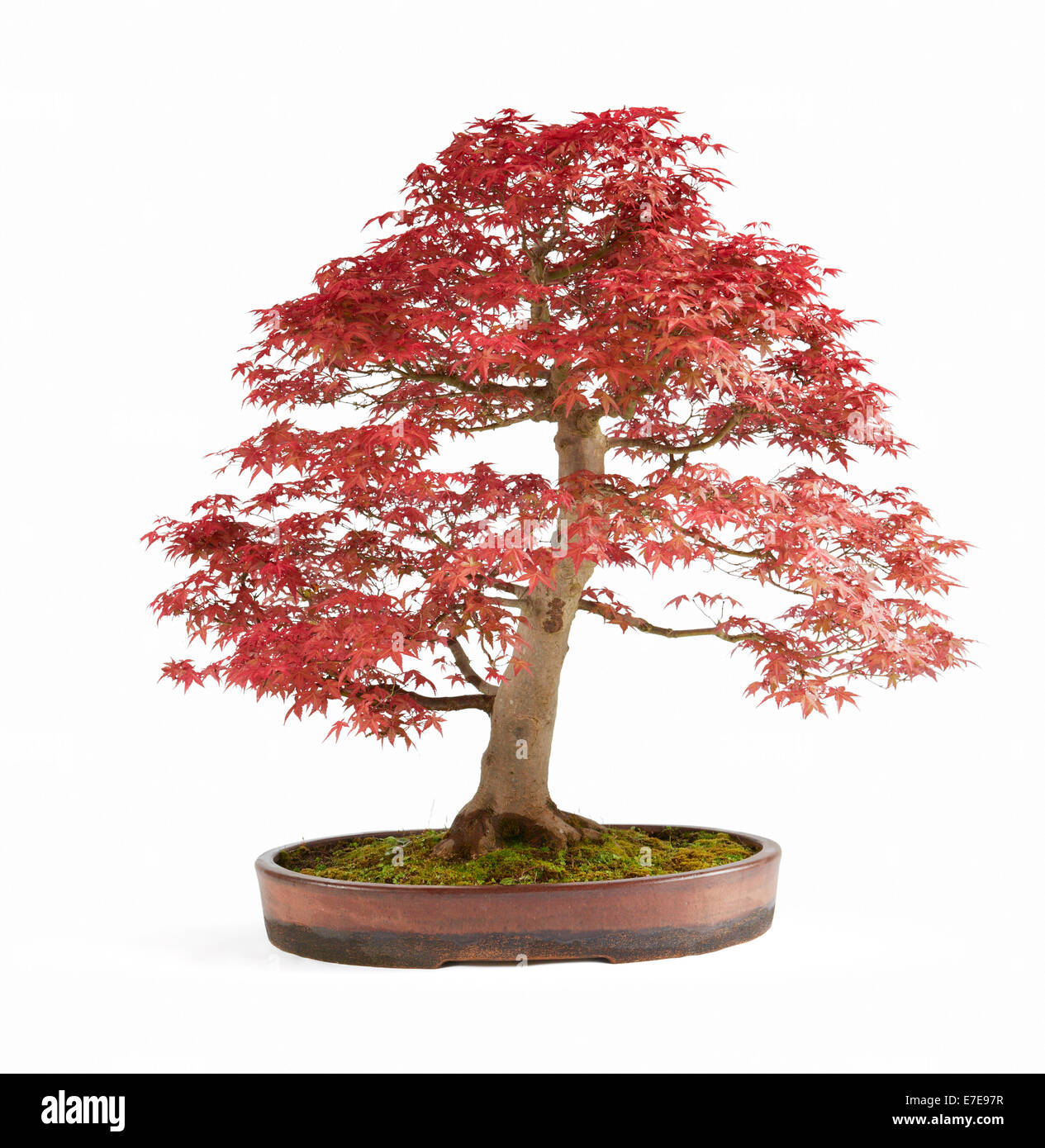 Bonsai Acer Palmatum Deshojo Japanese Red Maple Stock Photo