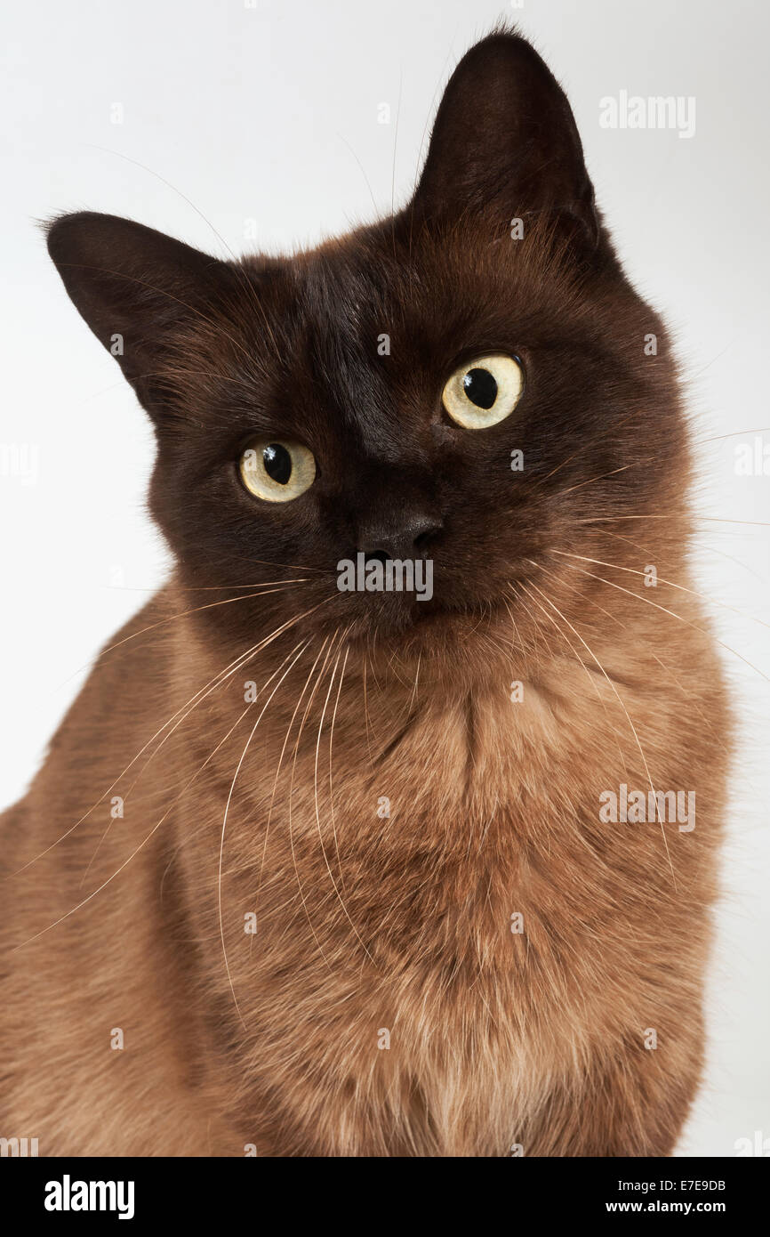 Munchkin Shorthair Cat - Stock Image