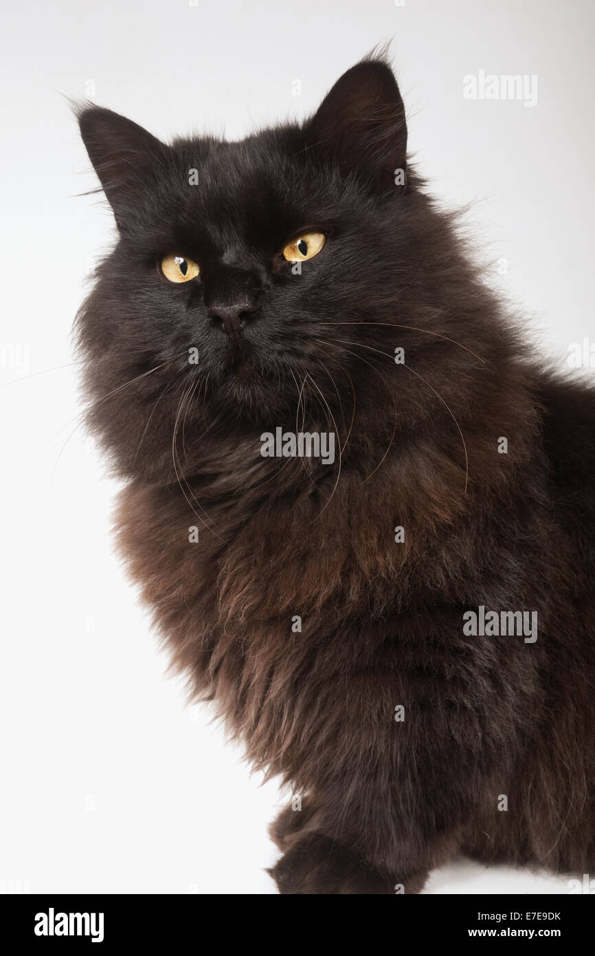 Munchkin Longhair Cat - Stock Image