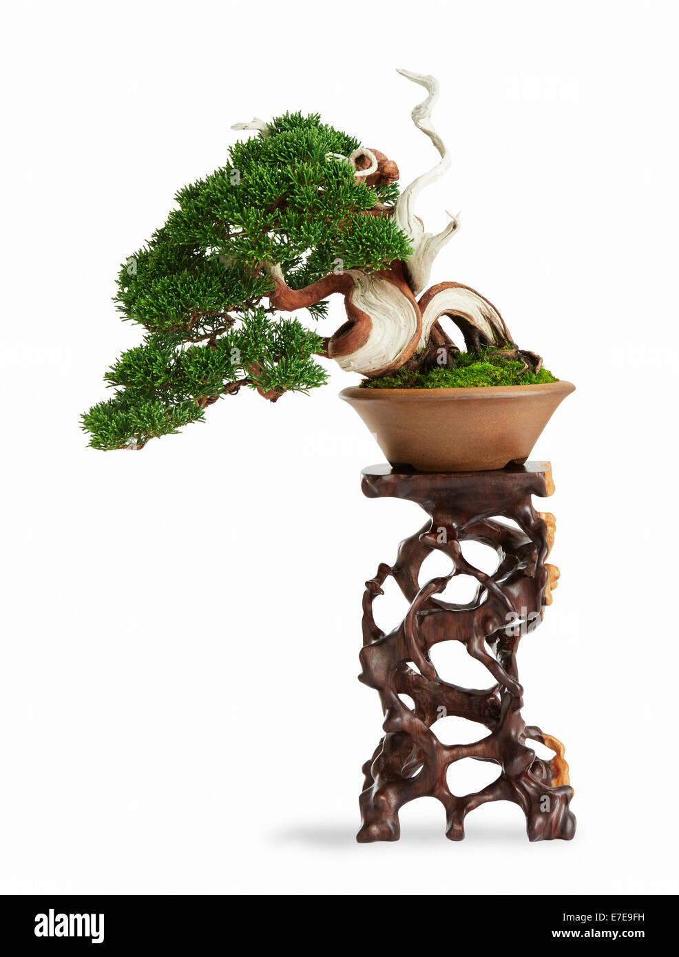 Bonsai Juniperus Chinensis (Chinese Juniper) - Stock Image