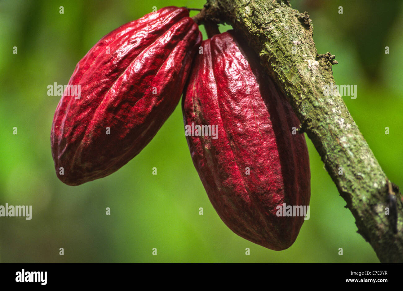 COCOA BEAN [ Theobroma cacao ] PODS ON A TREE IN THE WEST INDIES - Stock Image