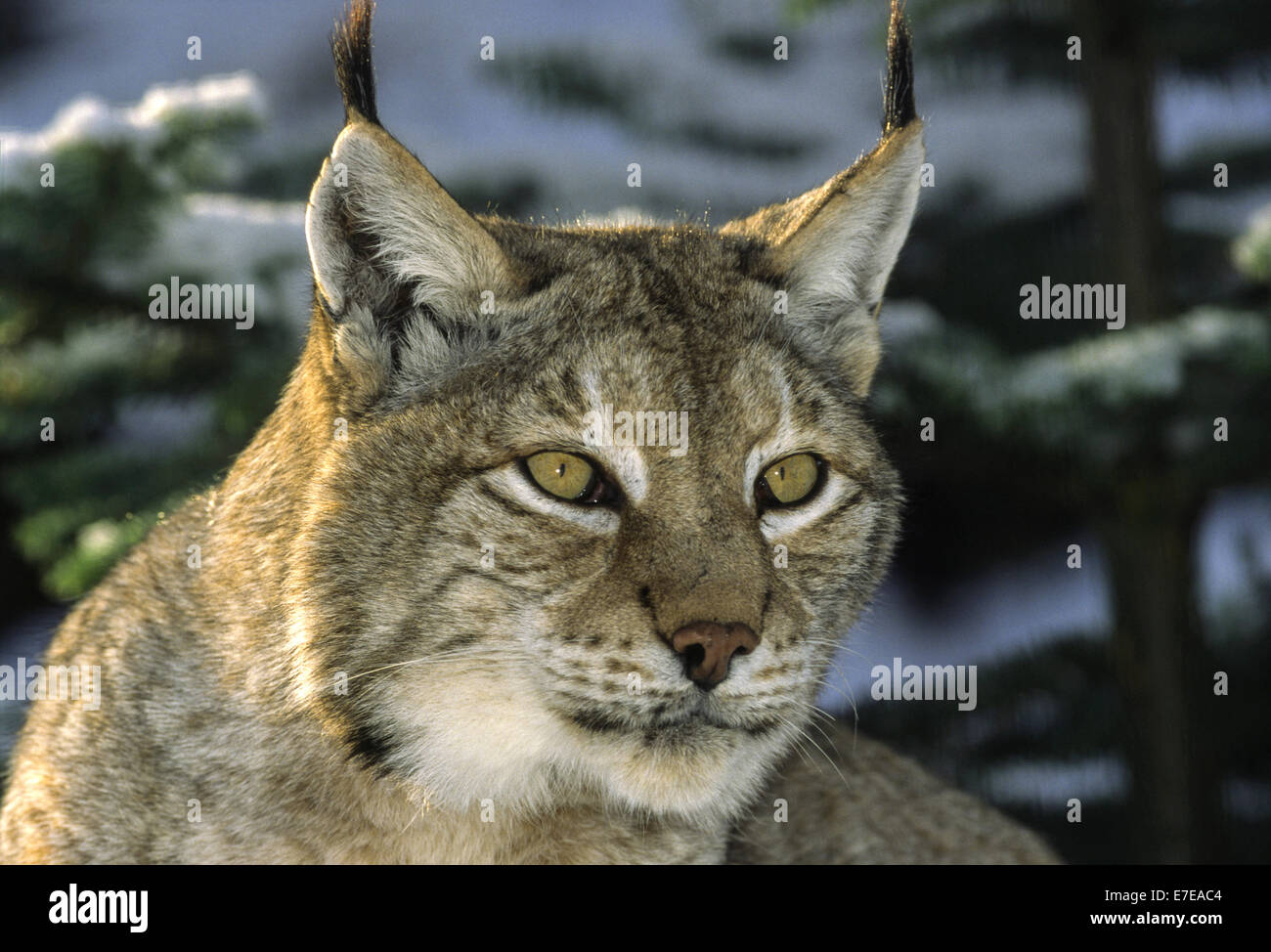 EURASIAN  LYNX IN THE PINES WITH SNOW A  PORTRAIT - Stock Image