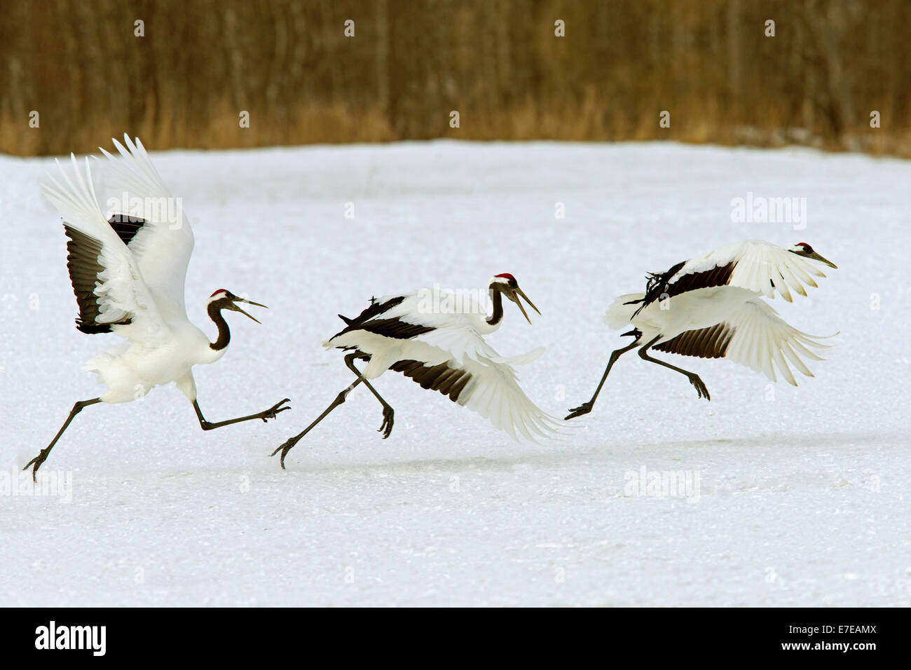 Red-crowned cranes taking off - Stock Image