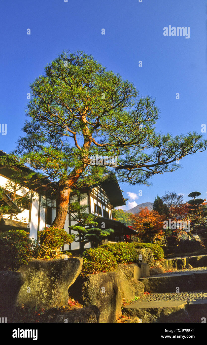 JAPANESE HOUSE GARDEN AND FIR TREE - Stock Image
