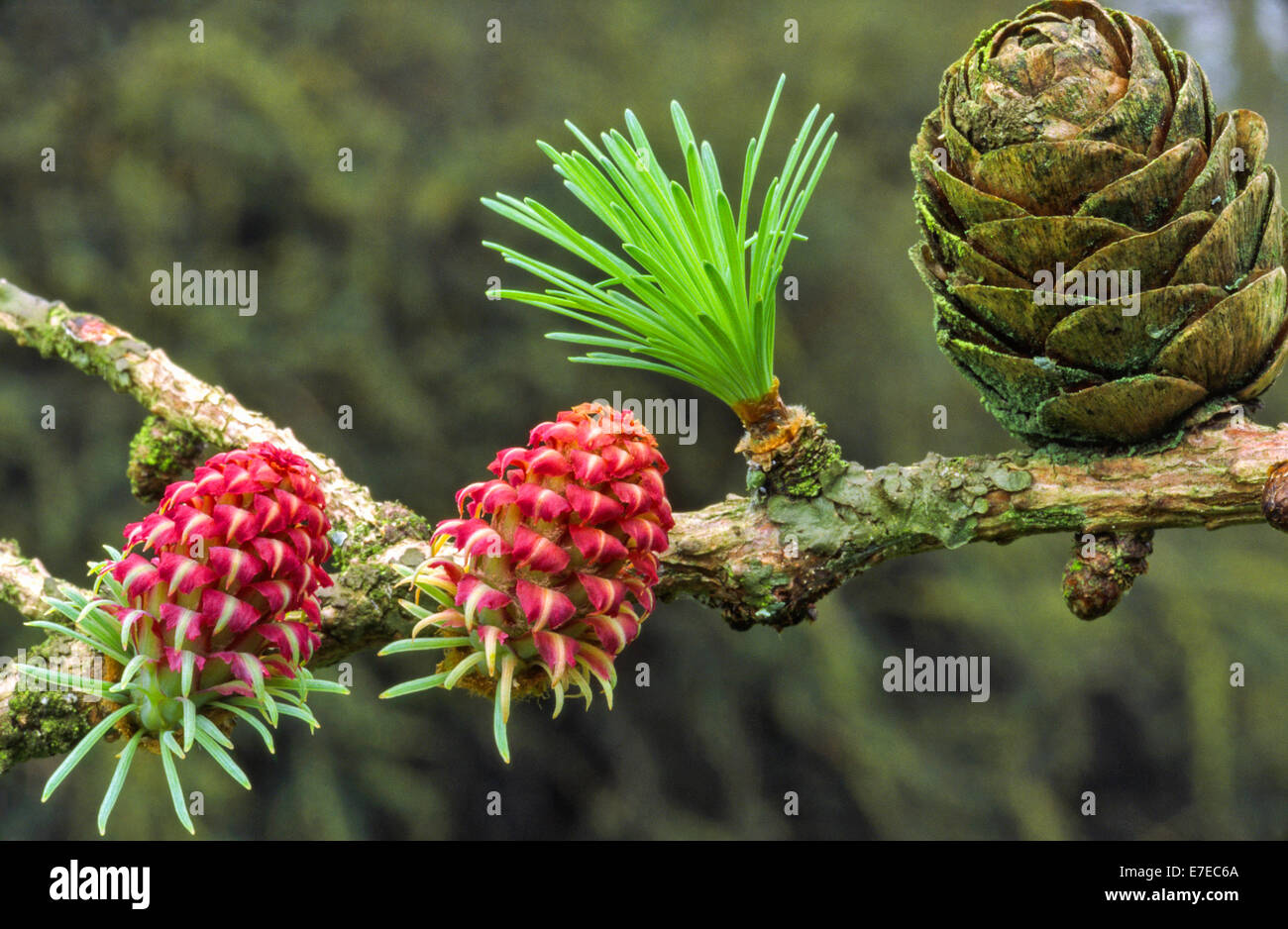 LARCH TREE [ LARIX ] FLOWERS NEEDLES AND CONE IN SPRING - Stock Image