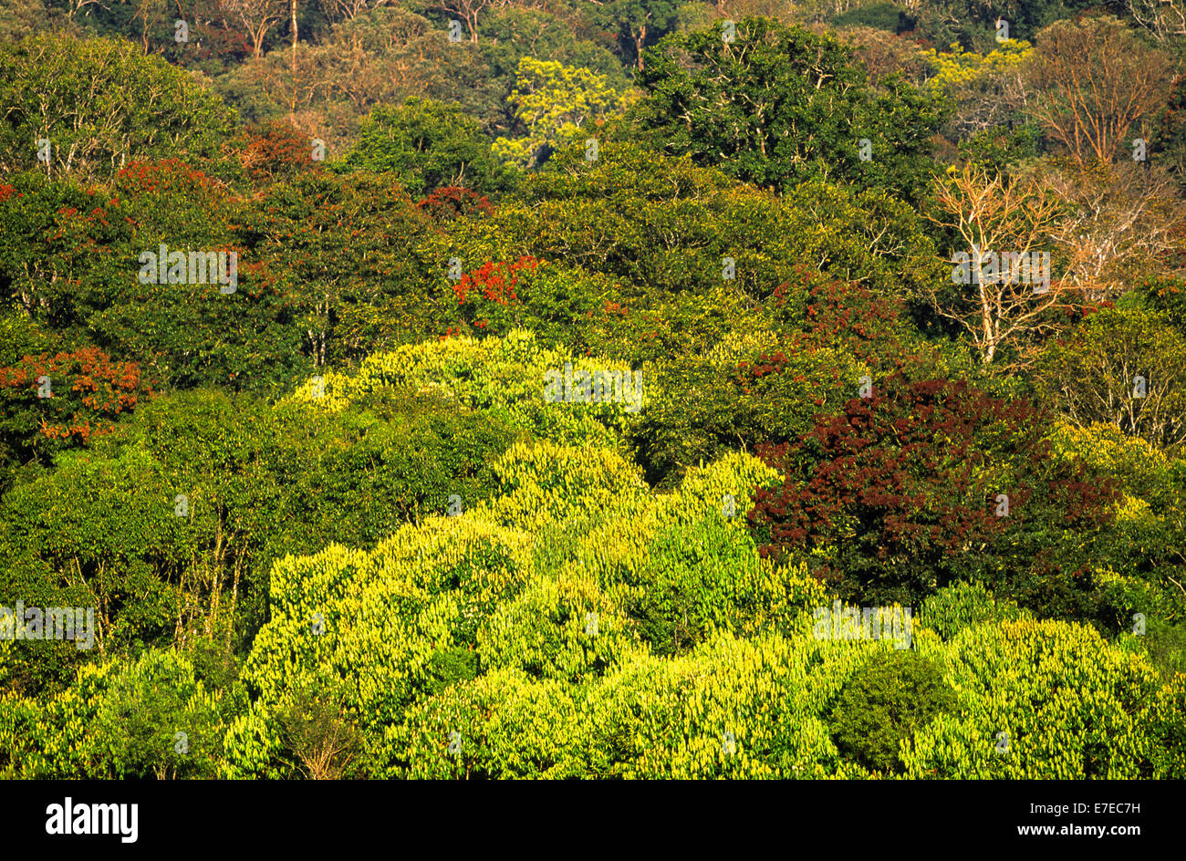 PERIYAR FOREST AND TREE DIVERSITY SOUTHERN INDIA - Stock Image