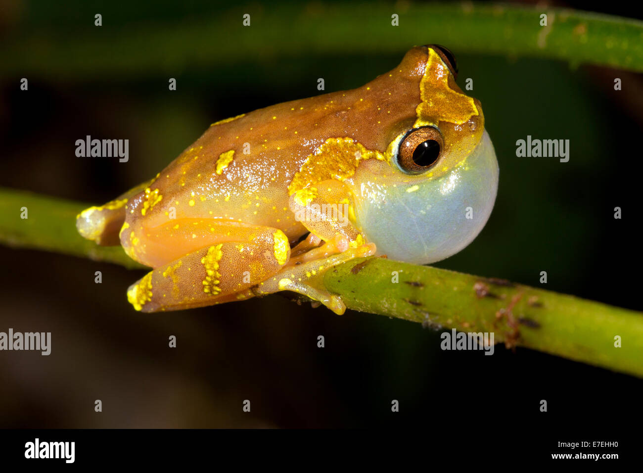 Sarayacu Treefrog (Dendropsophus sarayacuensis). Male calling. - Stock Image