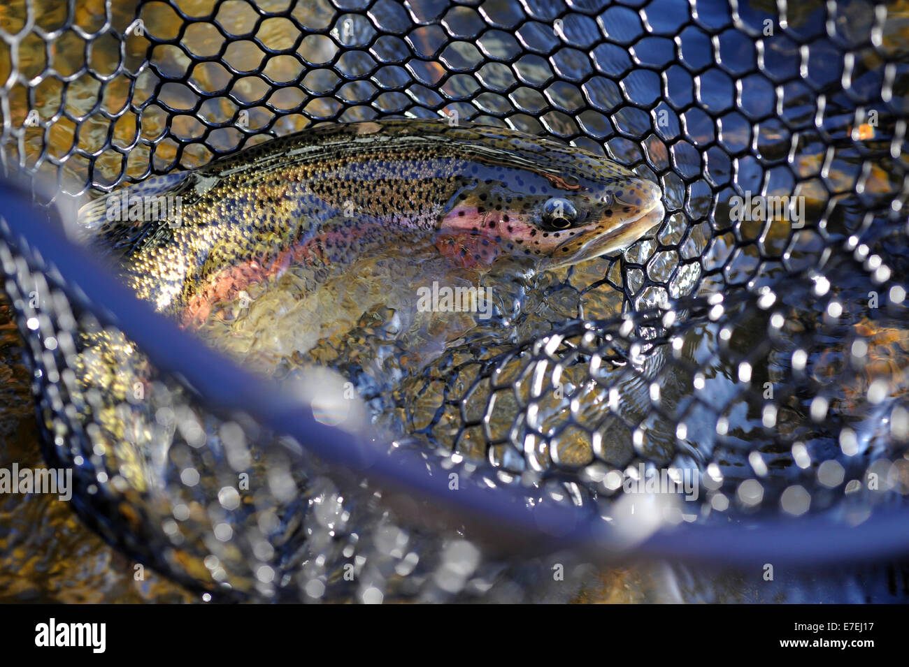 Rainbow trout caught on Deep Creek on the Western Kenai Peninsula, Alaska September 2009.  Flowing into Cook Inlet - Stock Image