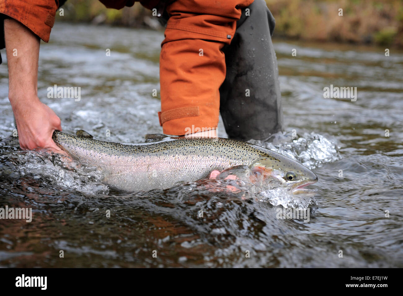 Wild steelhead fished on Deep Creek on the Western Kenai Peninsula, Alaska September 2009.  Flowing into Cook Inlet - Stock Image