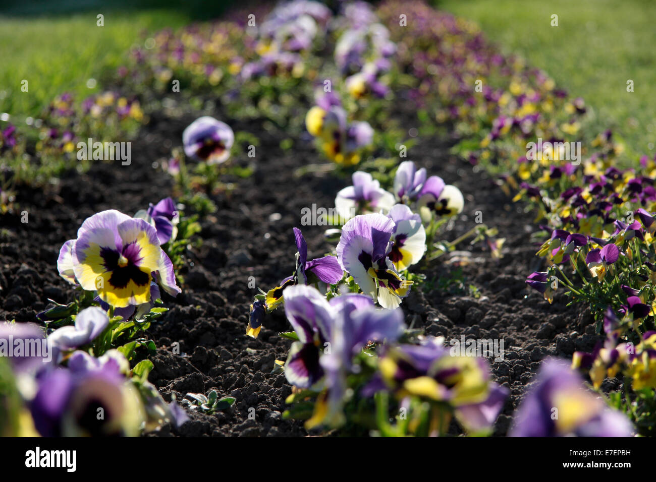 Flower bed with pansies in park in April - Stock Image