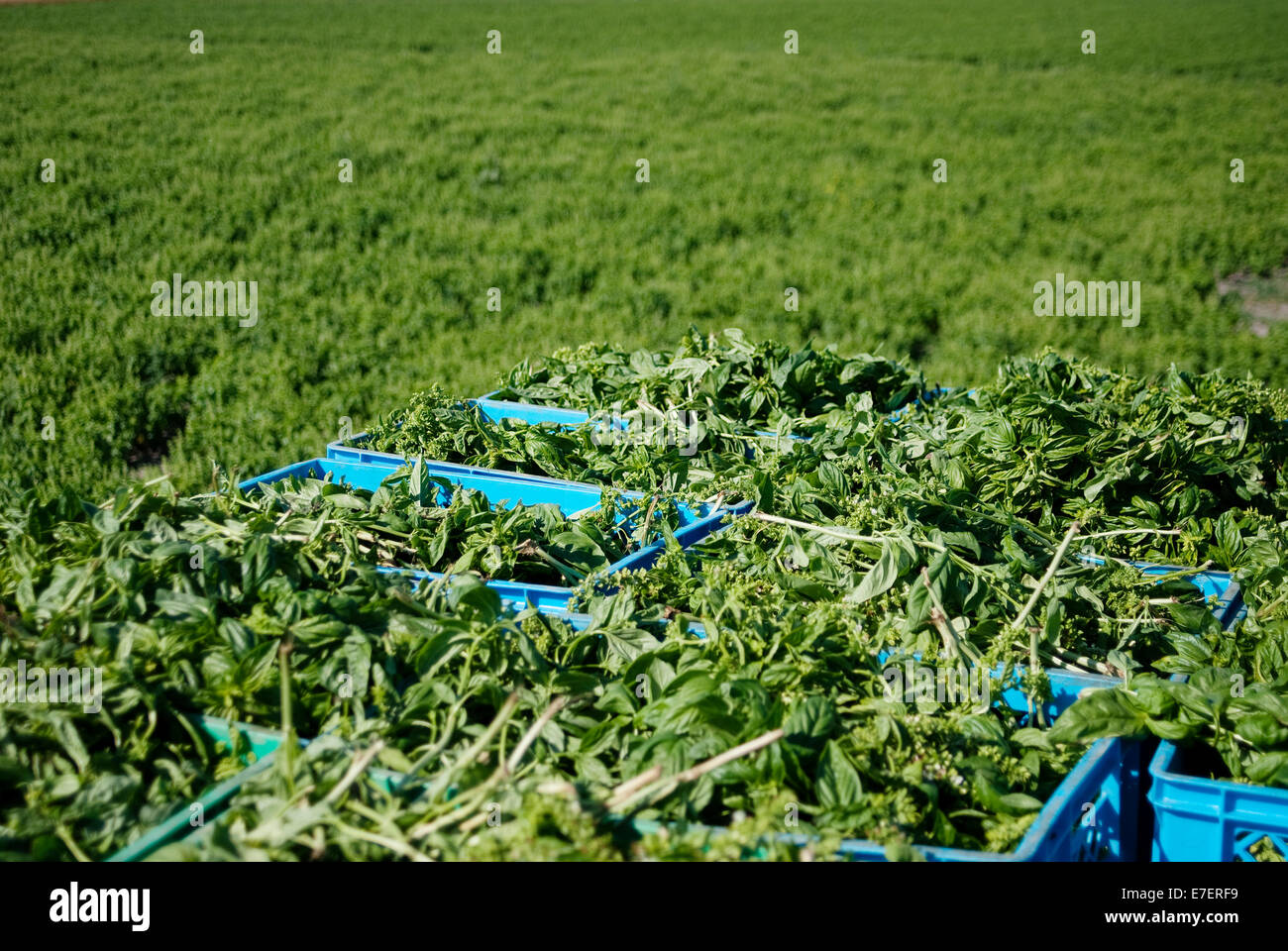 Agriculture; Farm; Harvesting; Organic; Organic farming; Organic food; Basil; baskets; Green; Rural scen; Nature; - Stock Image