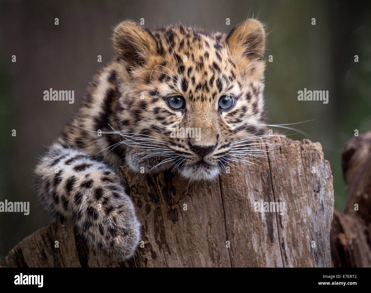 Female Amur leopard cub on tree stump - Stock Image