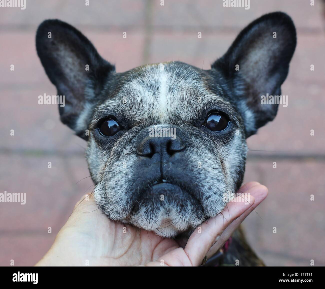 A person's hand, cupping the chin of a cute, old, gray-faced French Bulldog. Stock Photo