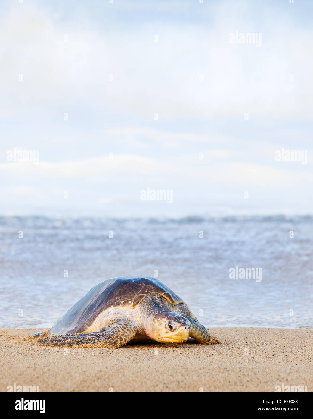 Adult Olive Ridley turtle drags itself ashore to lay eggs on the beach at Ixtapilla, Michoacan, Mexico. - Stock Image