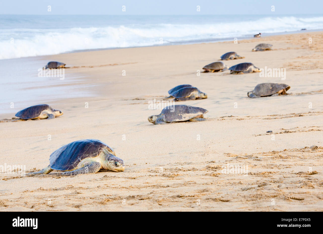 Adult Olive Ridley turtles come ashore to lay eggs on the beach at Ixtapilla, Michoacan, Mexico. - Stock Image