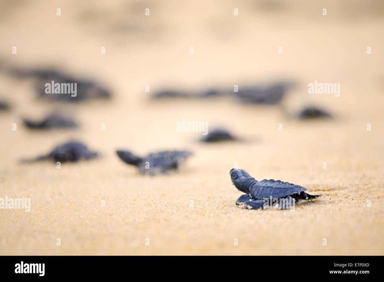 Newly hatched Olive Ridley sea turtles head out to the Pacific Ocean on the Ixtapilla, Michoacan beach in Mexico. - Stock Image