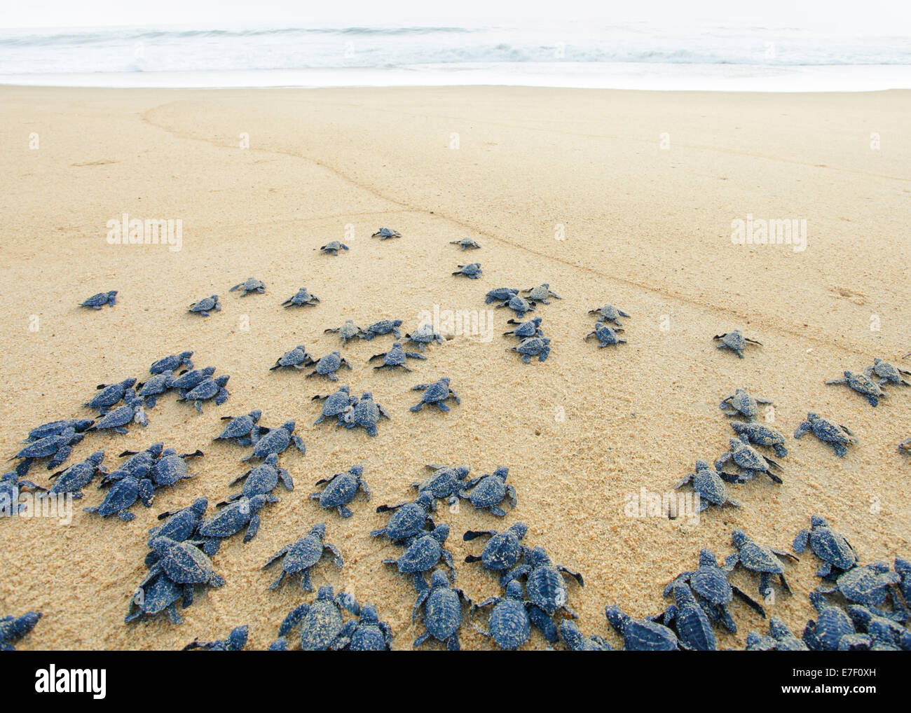 Newly hatched Olive Ridley sea turtles head out to the Pacific Ocean on the Ixtapilla, Michoacan beach in Mexico - Stock Image
