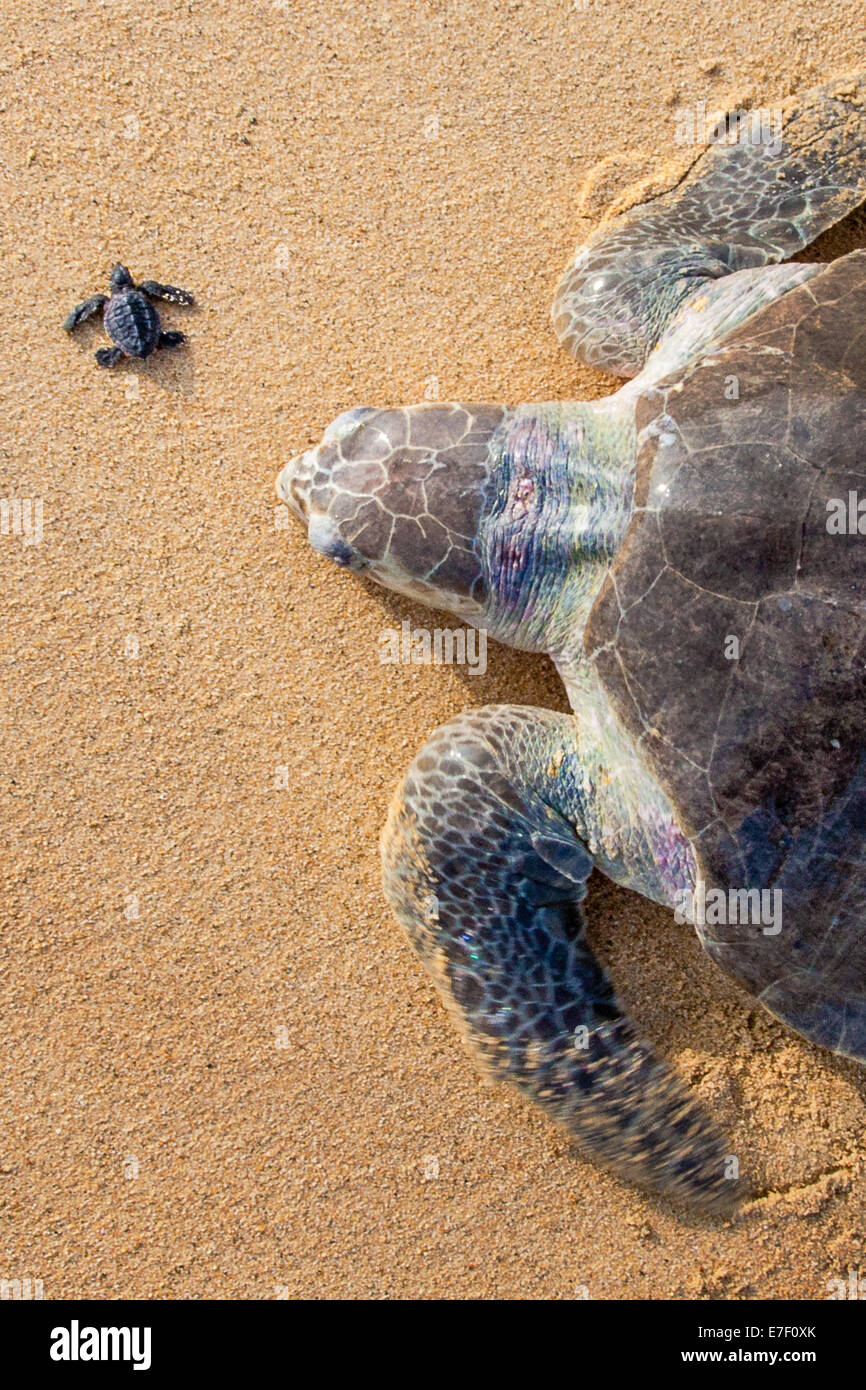 An adult Olive Ridley sea turtle crawls ashore near a newborn in Ixtapilla, Michoacan, Mexico. Stock Photo