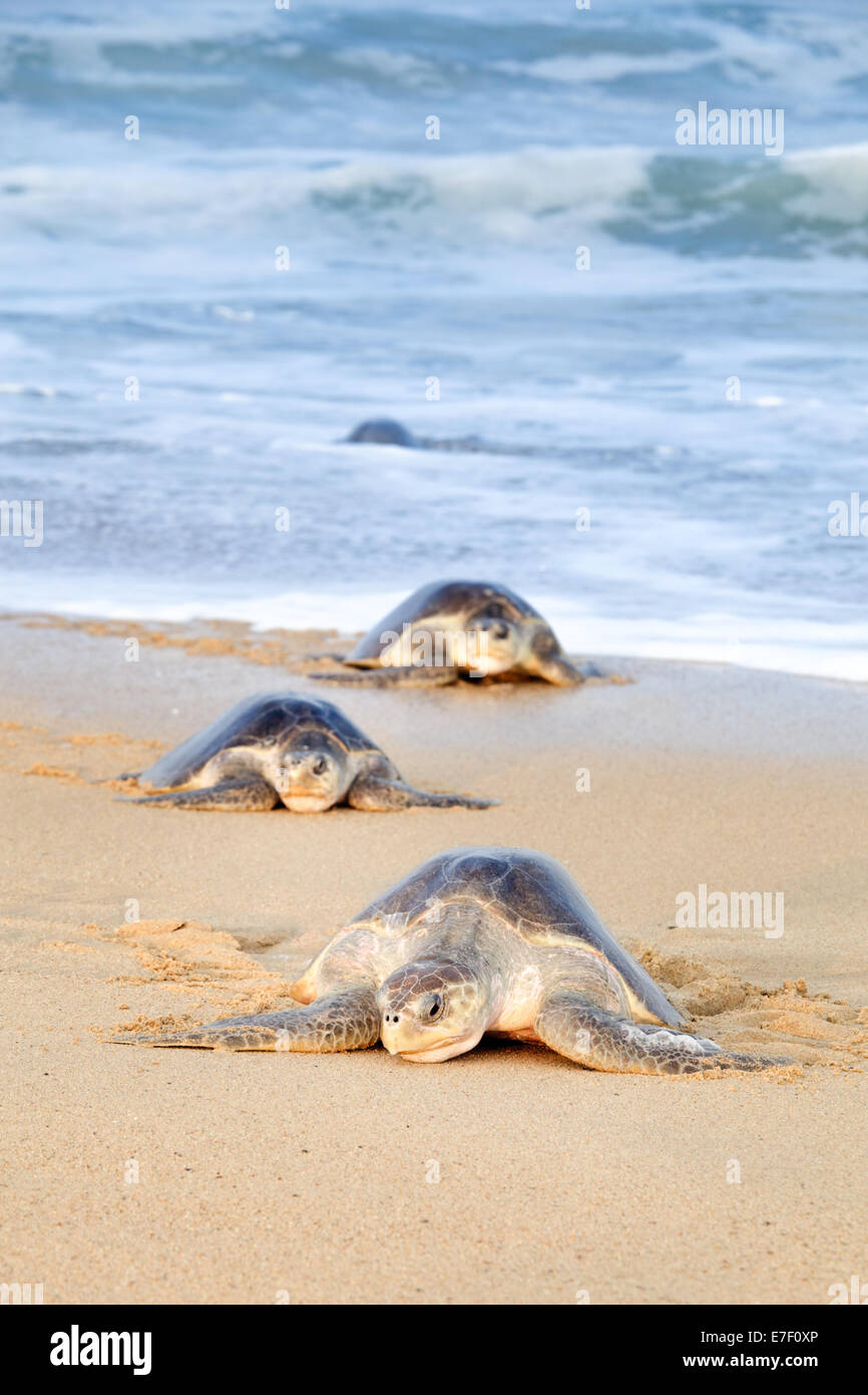 Looking tired from their journey, adult Olive Ridley sea turtles struggle ashore to lay eggs in Ixtapilla, Michoacan, - Stock Image