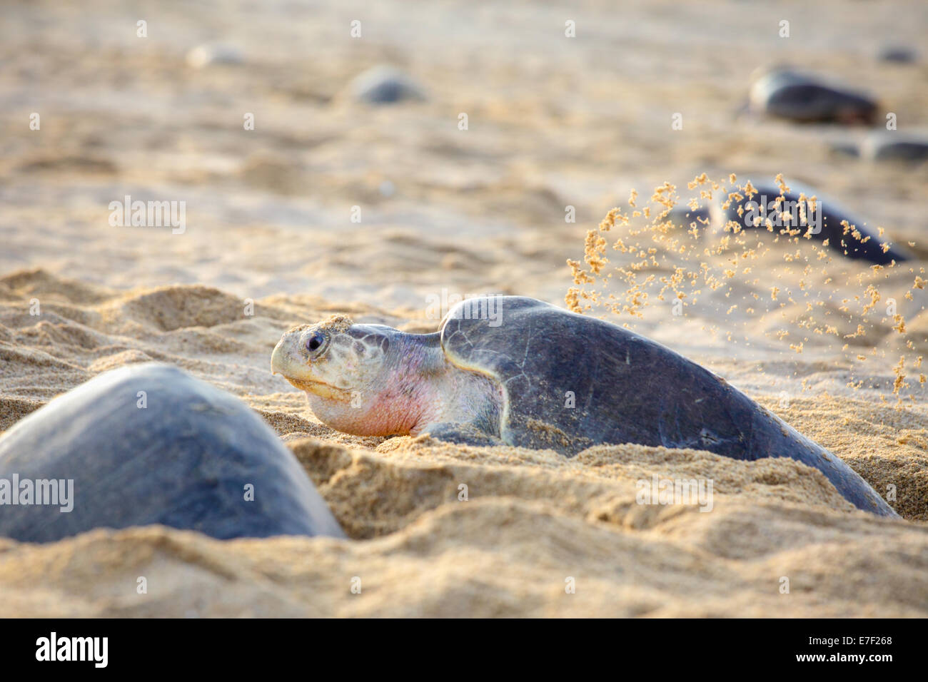 An adult Olive Ridley sea turtle digs in the sand before laying eggs in Ixtapilla, Michoacan, Mexico. - Stock Image
