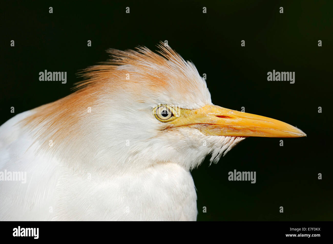 Cattle Egret (Bubulcus ibis), in breeding plumage, portrait, France Stock Photo