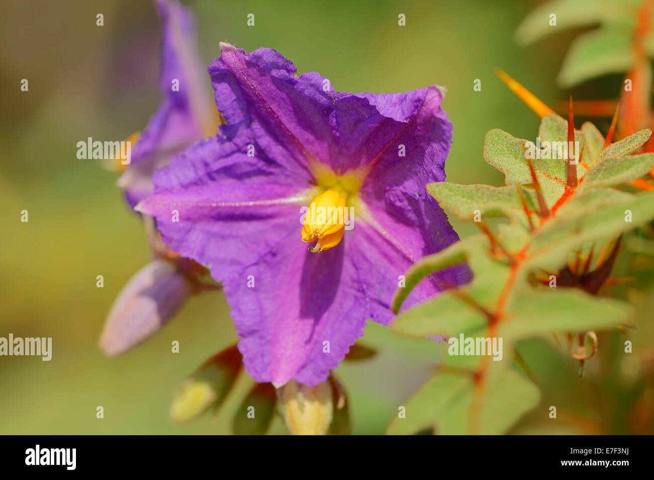 Porcupine Tomato (Solanum pyracanthum), flower, native to Madagascar and the western Indian Ocean - Stock Image